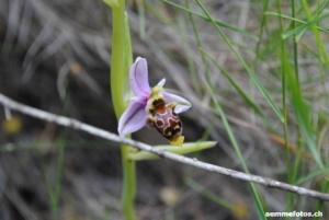 DSC_0487 Bienen Ragwurz